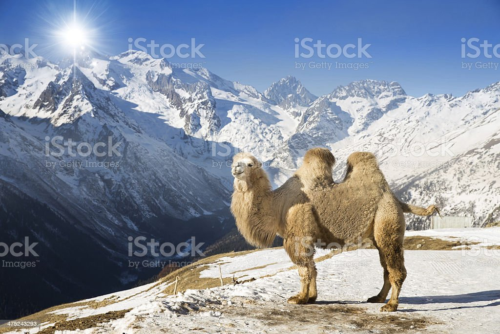 camel in the mountains stock photo