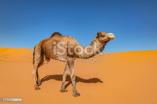 Camel in the Sahara, Erg Chebbi, Morocco, North Afric,Nikon D3x