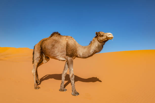Camel in the Sahara, Erg Chebbi, Morocco, North Afric stock photo