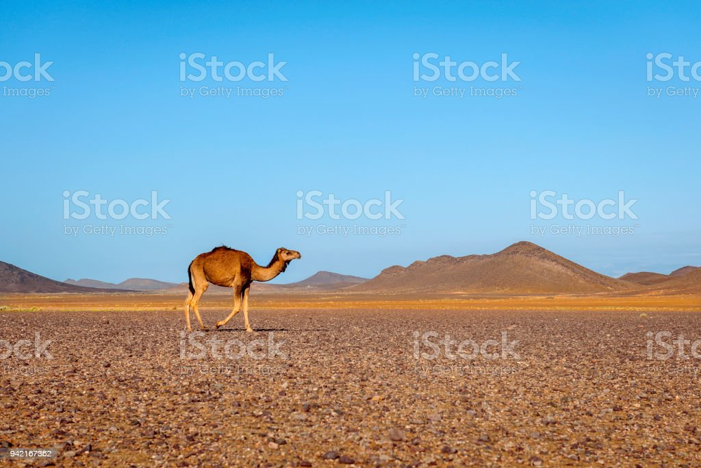 Camel in the Sahara Erg Chebbi Morocco North Afric stock photo