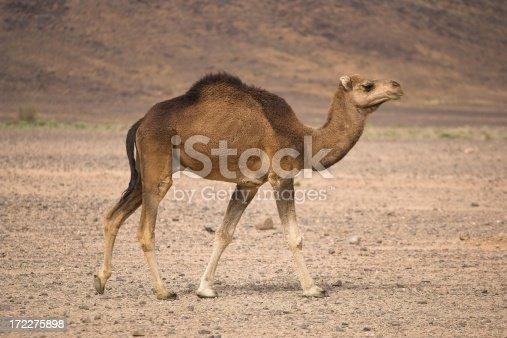 Moroccan camel in the Sahara desert, locally known as a dromedary camel