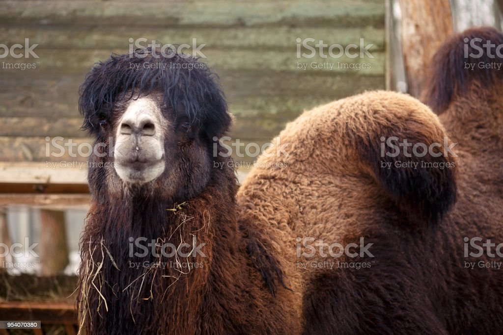 Camel in the zoo, close up stock photo