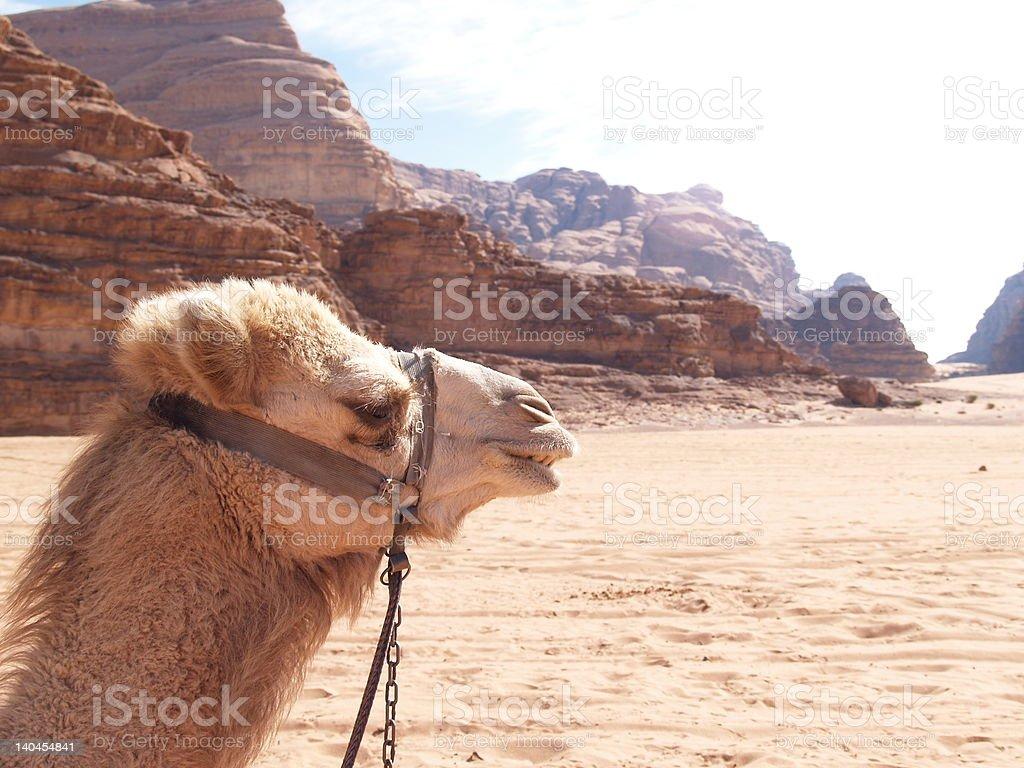 Camel in Wadi Rum stock photo