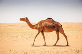 Camel walking in the hot Wahiba Sands Desert. Wahiba Sands, Oman, Middle East