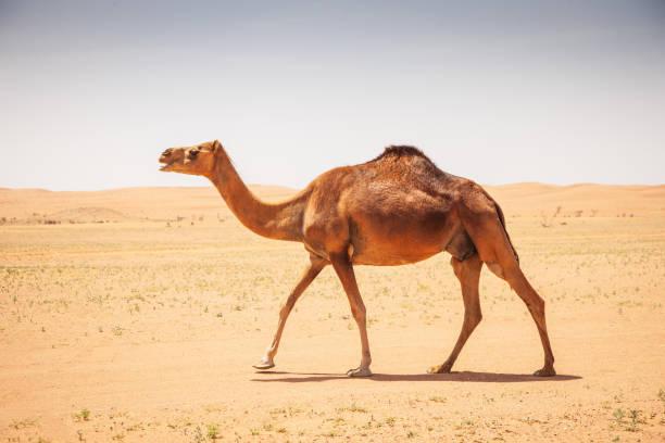 Camel in Wahiba Sands Desert Oman stock photo