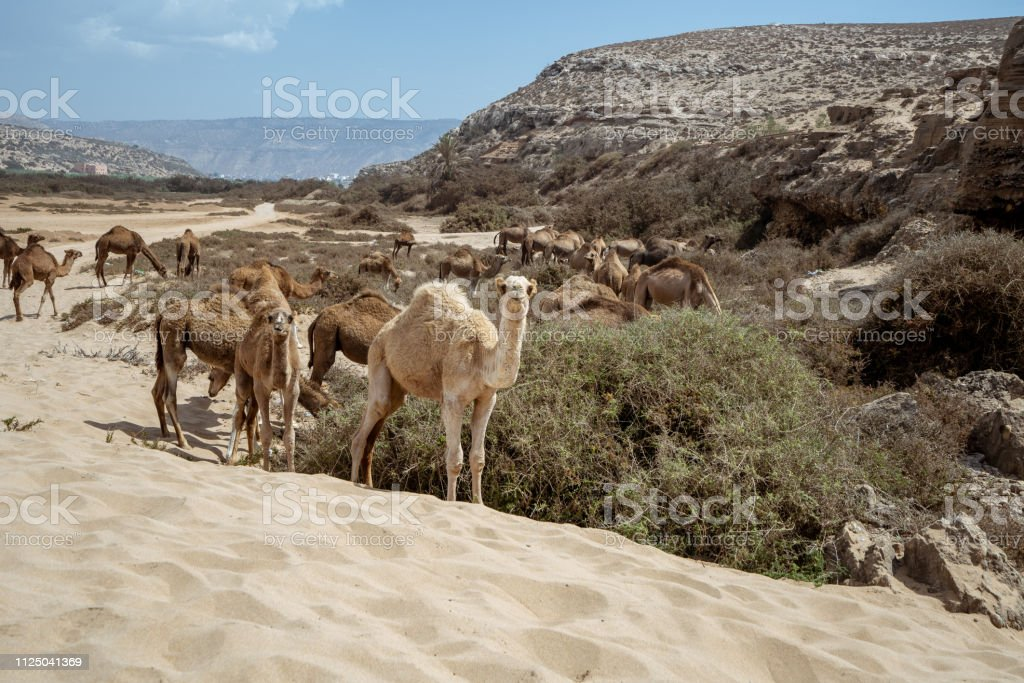 A camel is posing for a picture at Plage Tamri near Agadir, Morocco stock photo