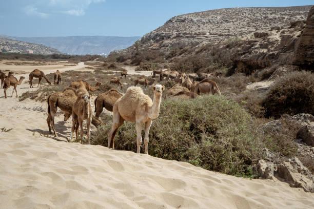 ラクダはプラージュ タムリ アガディール、モロッコの近くでカメラにポーズをとってください。 ストックフォト