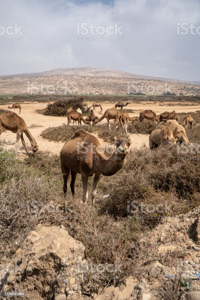 A camel is posing for a picture in the sand dunes of Morocco stock photo