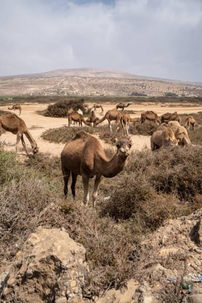 ラクダはモロッコの砂丘で写真のポーズします。 ストックフォト