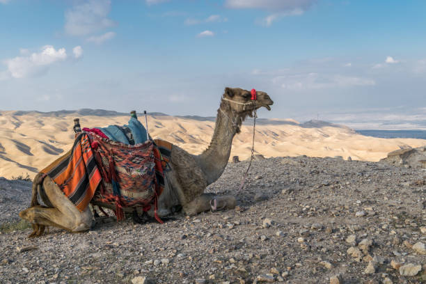 Camel is ready Ready for a journey negev stock pictures, royalty-free photos & images