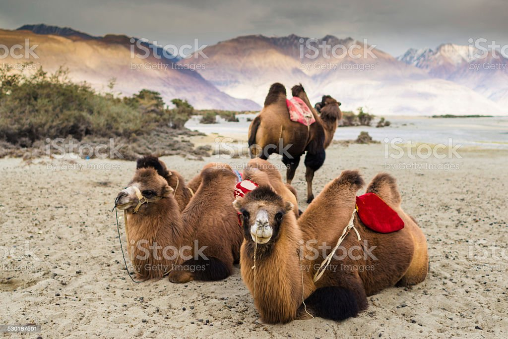 Camel is waiting for tourists in Nubra Valley, Leh. stock photo