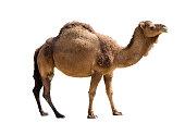 Illustration on the theme of desert animals.