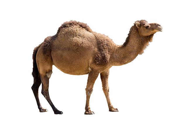 camello aislado en blanco - camello fotografías e imágenes de stock