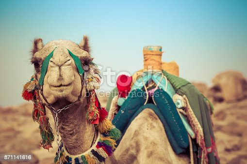 883177796istockphoto Camel lay with traditional Bedouin saddle in Egypt 871141616