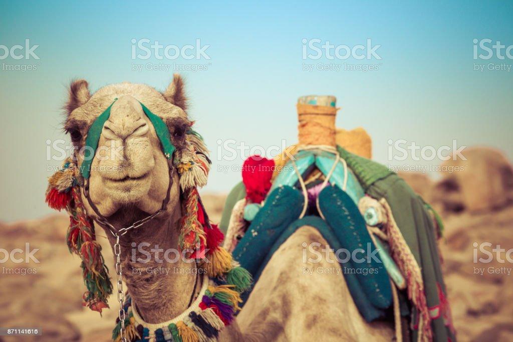 Camello pone con sillín tradicional de beduinos en Egipto - foto de stock