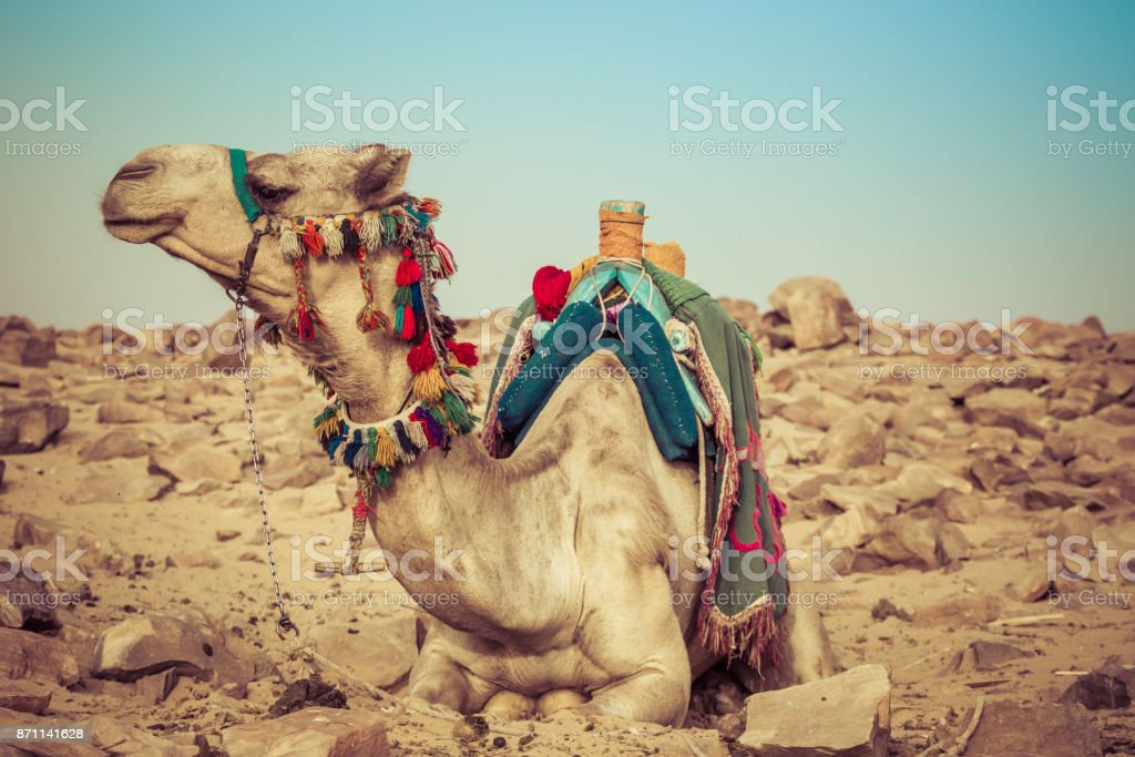 Camel lay with traditional Bedouin saddle in Egypt stock photo