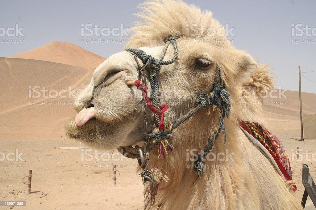 Camel lick stock photo