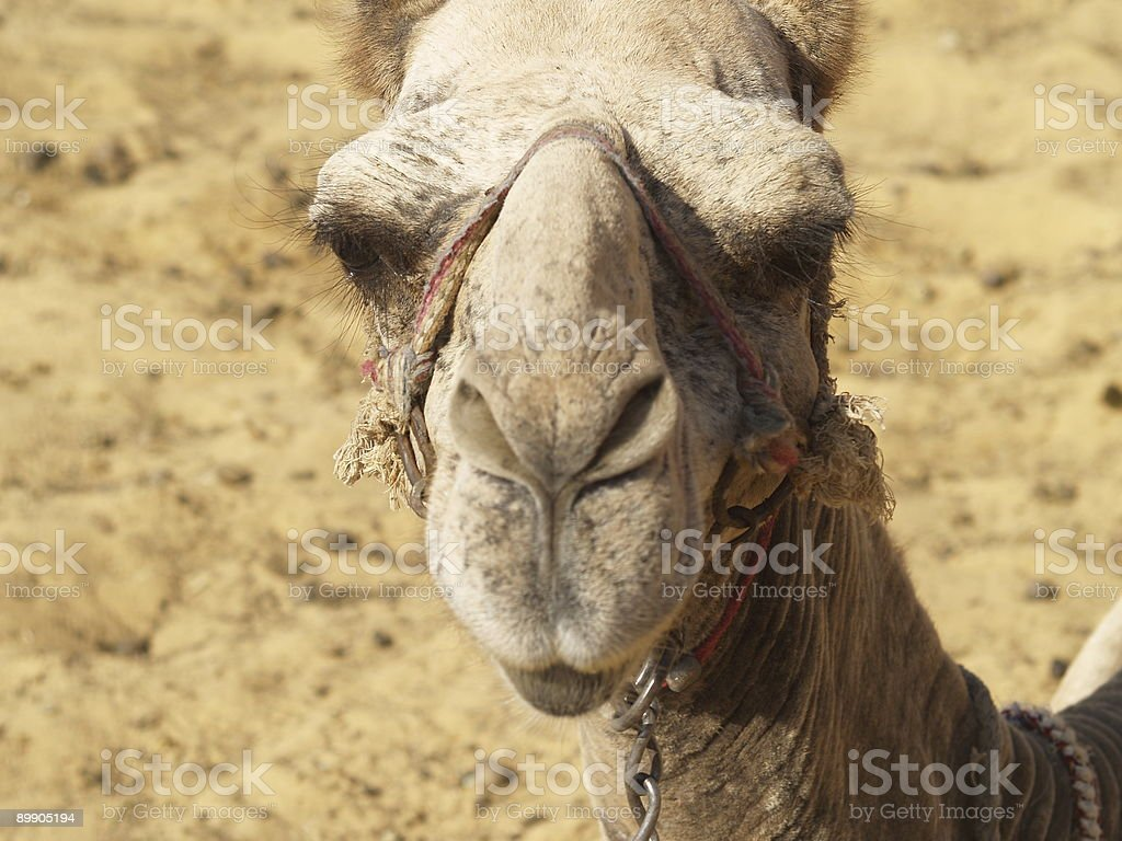 Camel looking at you royalty-free stock photo