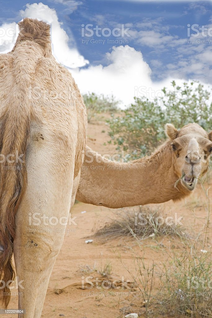 Camel looking back royalty-free stock photo
