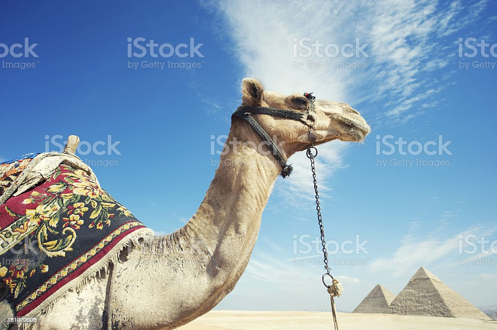 Camel Looks Out Over Great Pyramids Giza Egypt royalty-free stock photo