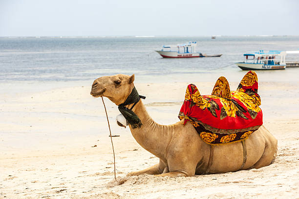 Camel lying on the sand stock photo