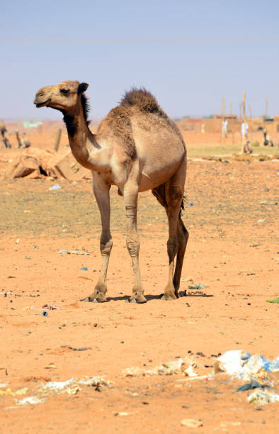 Camel market at Mowailih Cattle Market, Omdurman, Khartoum, Sudan Omdurman, Khartoum, Sudan: lone camel at Mowailih Cattle Market - camel market omdurman stock pictures, royalty-free photos & images