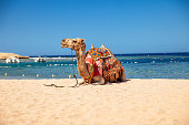 Camel sitting on a Beach in Egypt.