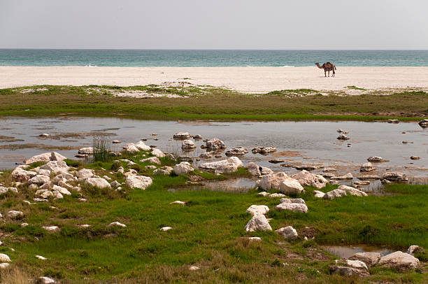camel on a beach - mahroch stock pictures, royalty-free photos & images