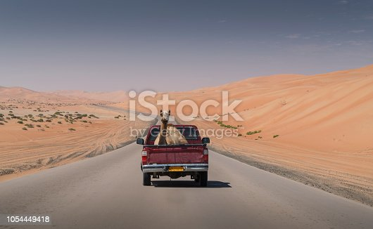 A  camel (camels dromedaries) on the back of a pickup truck on an empty road crossing the Emtpy Quarter desert of Abu Dhabi