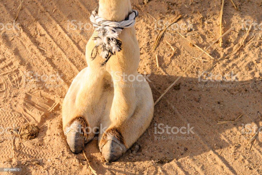 Kamel auf der arabischen Halbinsel – Foto
