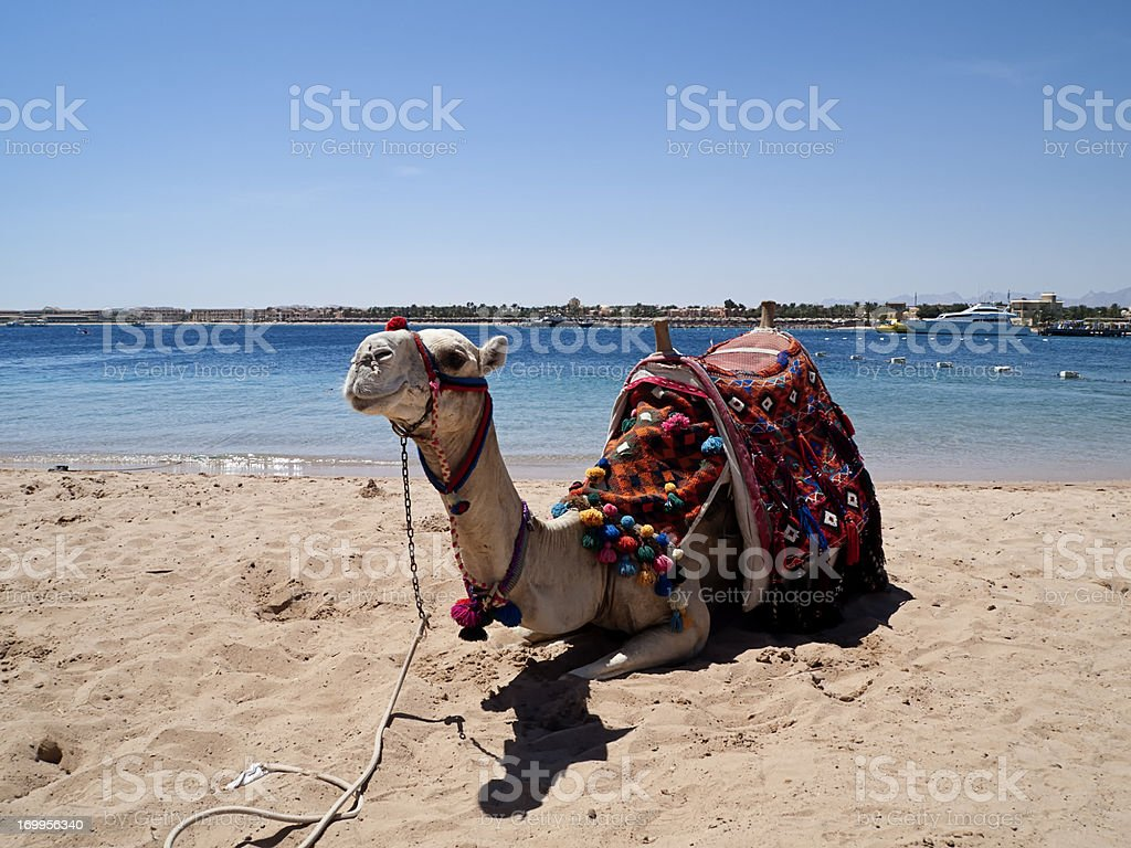 Camel on the beach ,Red Sea stock photo