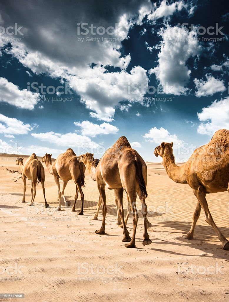 camel on the desert stock photo