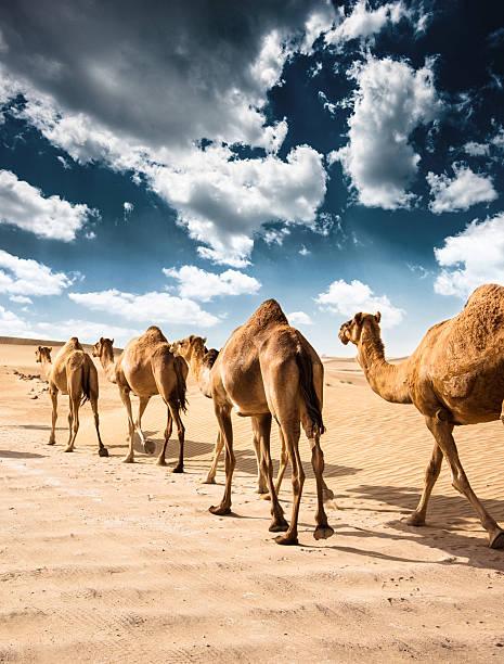 camellos en el desierto - camello fotografías e imágenes de stock
