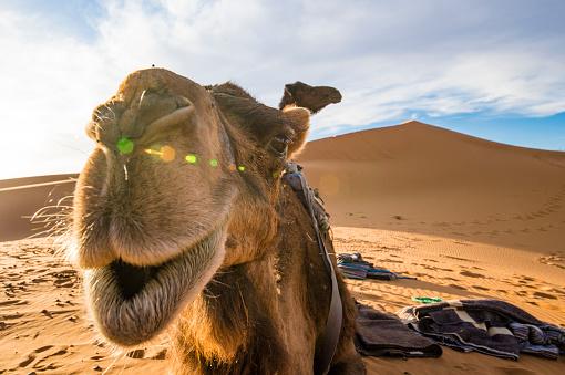 Camel On The Dunes Of The Sahara Desert At Sunset In ...
