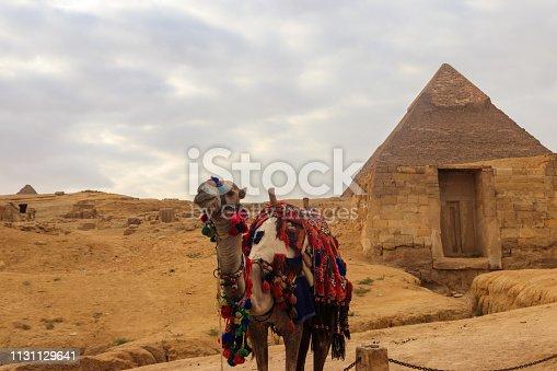 883177796 istock photo Camel on the Giza pyramid background 1131129641