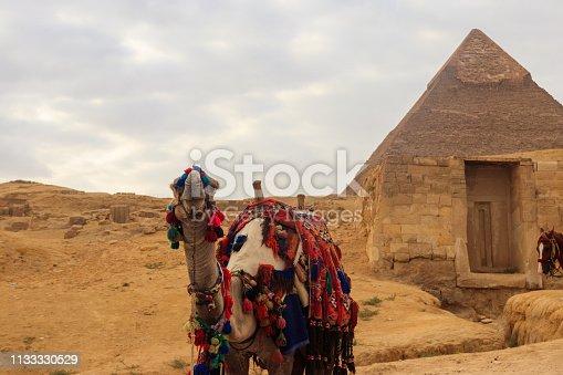 883177796 istock photo Camel on the Giza pyramid background 1133330529