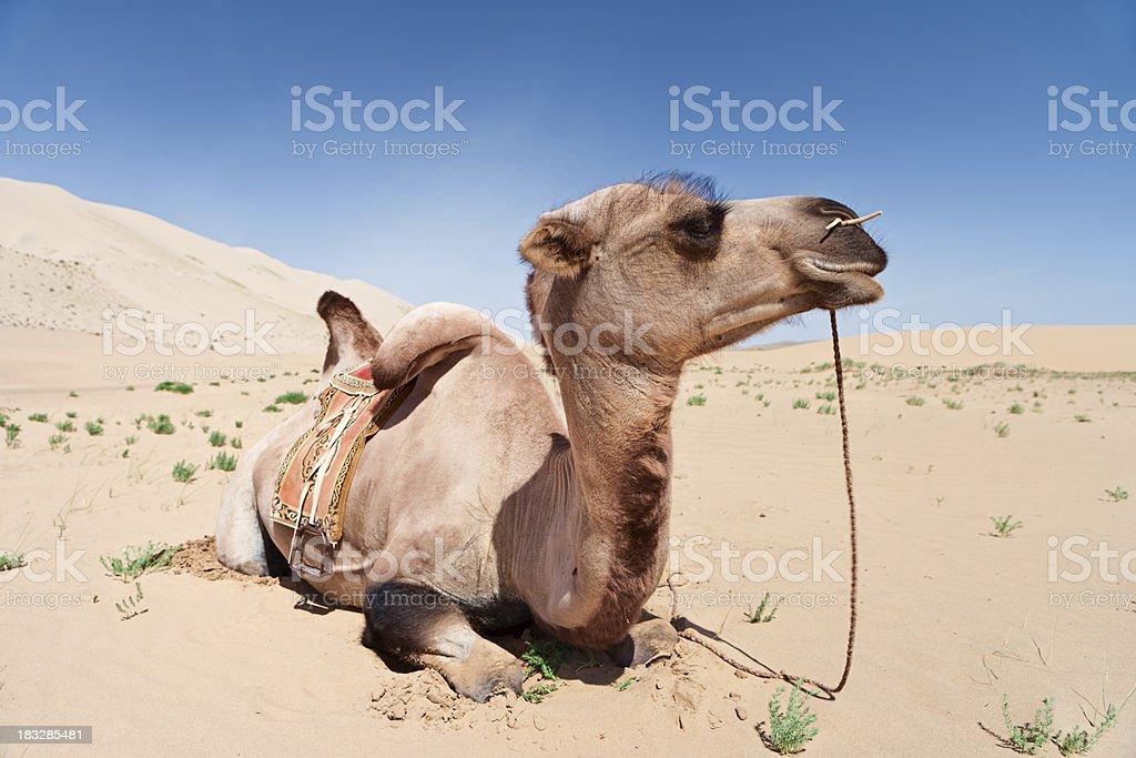 Camel on the Gobi Desert royalty-free stock photo