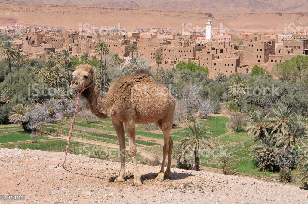 Camello en las afueras de Tinerhir - foto de stock