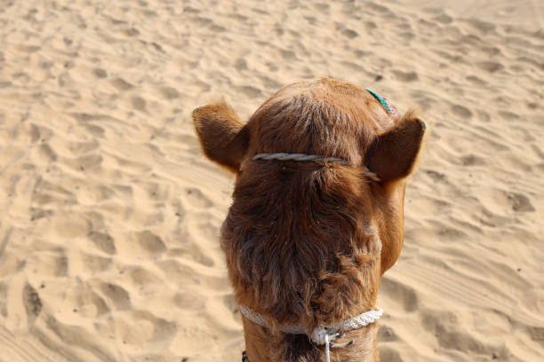 Camel on the Red Sand Dunes in Sharjah, UAE stock photo