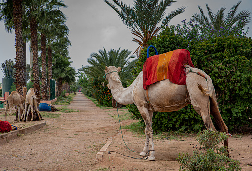 Camel looking at the road between palm trees, Marrakech, copy space