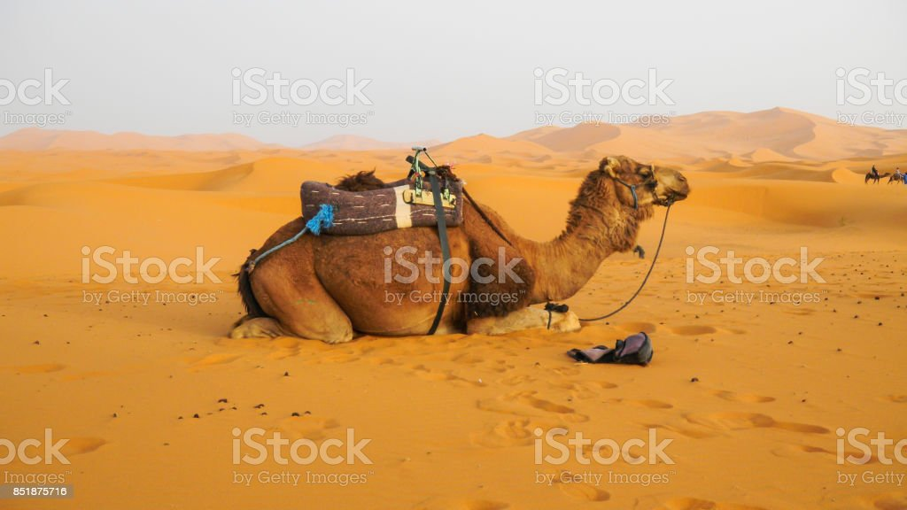 Camel on the Sahara desert morocco africa background.
