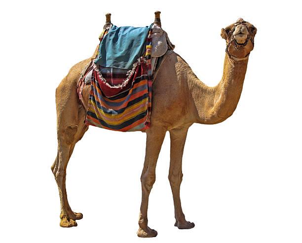 camello - camello fotografías e imágenes de stock