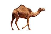 istock Camel 481523413