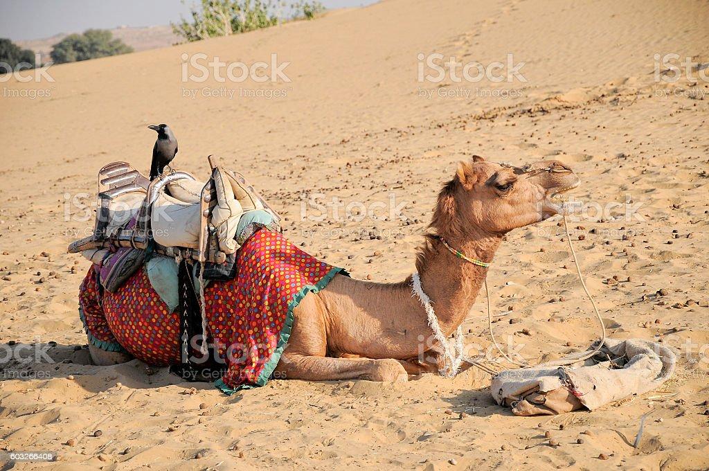 Camel porter relaxing in Thar desert, Jaisalmer, Rajasthan, India. stock photo