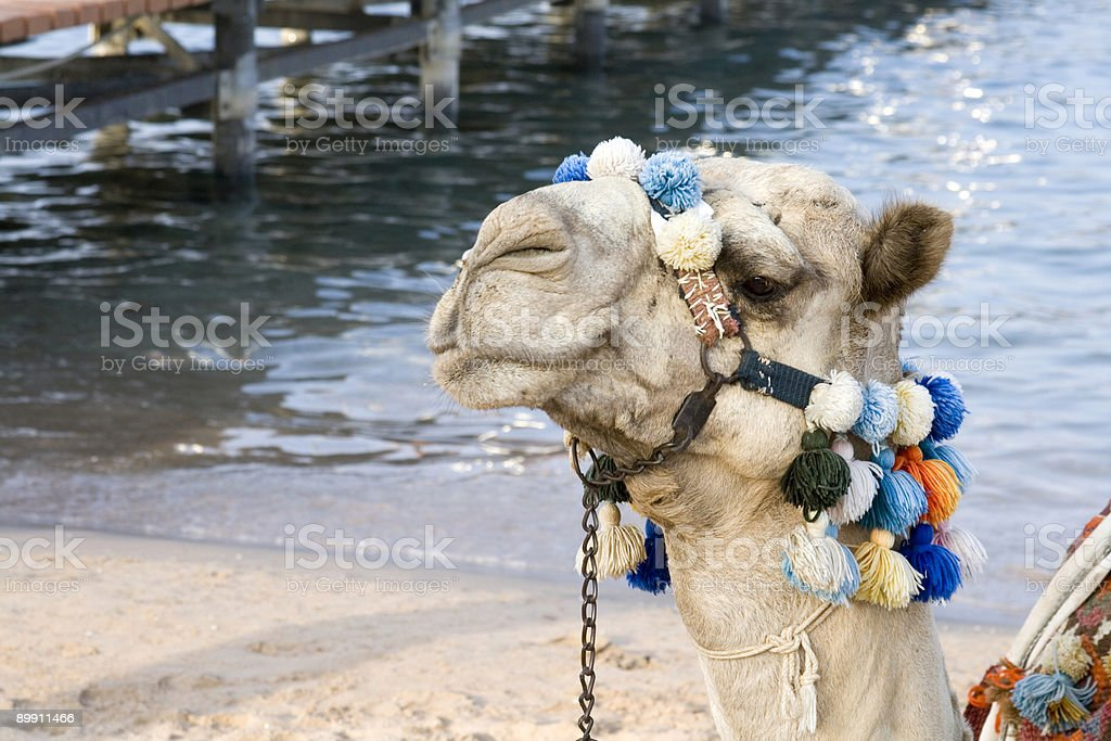 Camel Portrait - By the sea royalty-free stock photo
