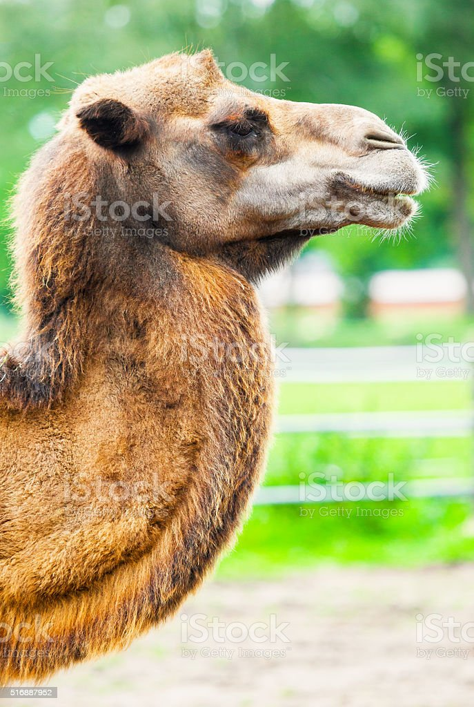 camel portrait from the side stock photo