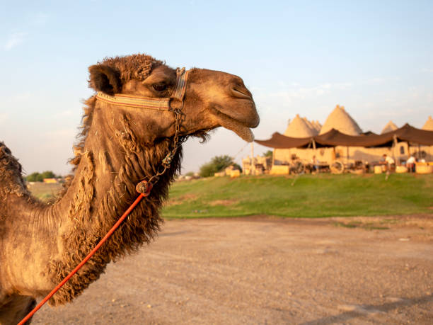 Camel portrait in Harran, Sanliurfa stock photo