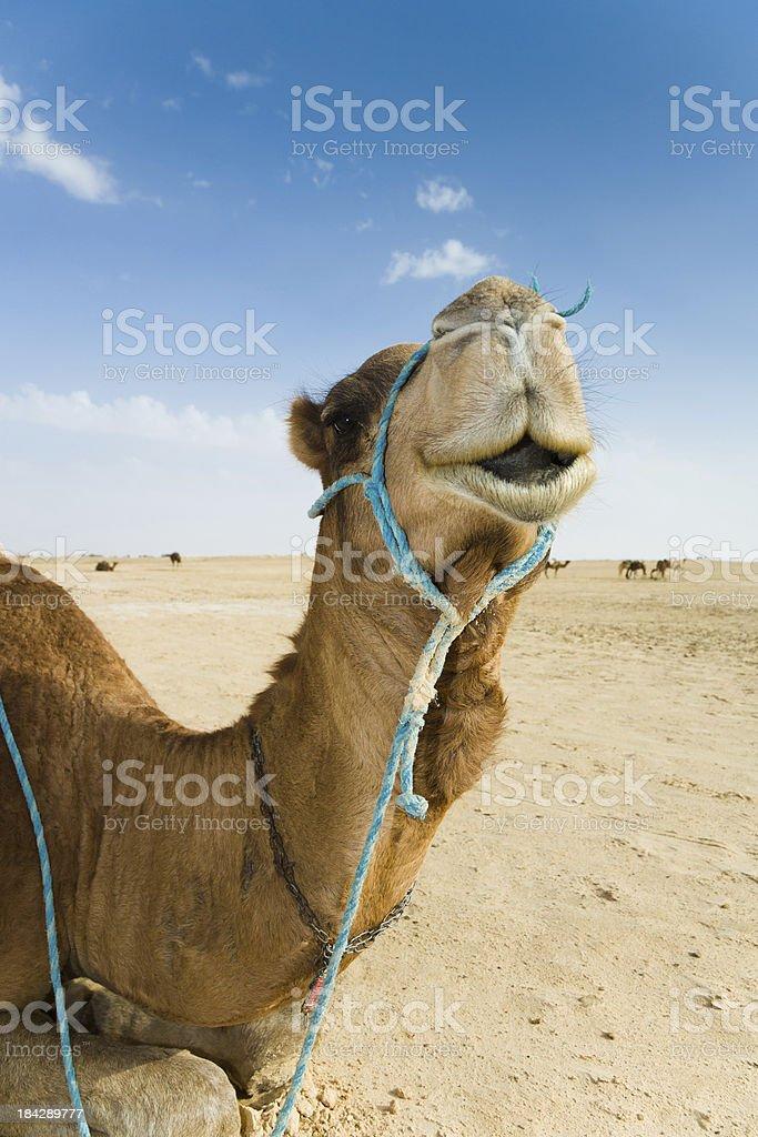 Camel Portrait Sahara Desert stock photo