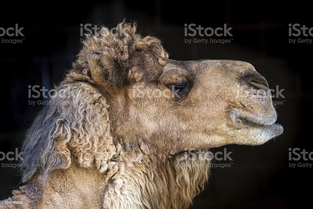 Camel Profile stock photo