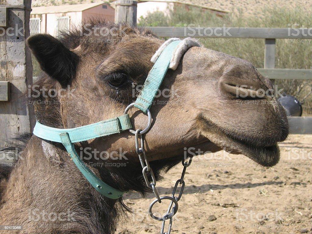 Camel Profile royalty-free stock photo